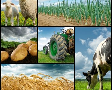 Agriculture collage. Cow sheeps wheat onion potato tractor